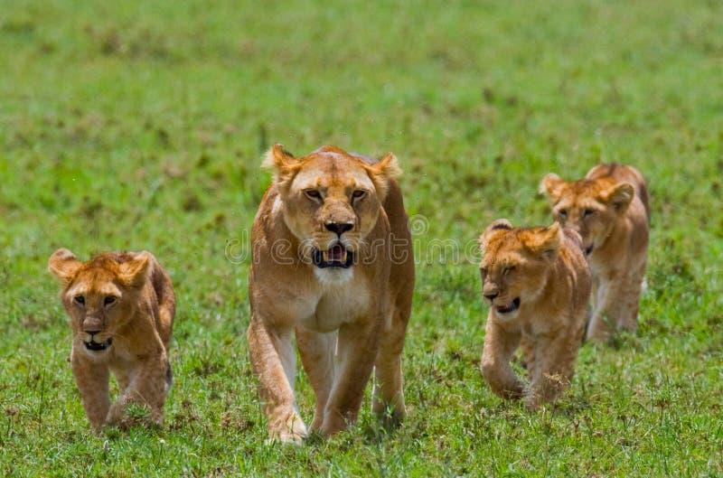 Λιονταρίνα με cubs στη σαβάνα Εθνικό πάρκο Κένυα Τανζανία mara masai serengeti στοκ εικόνα