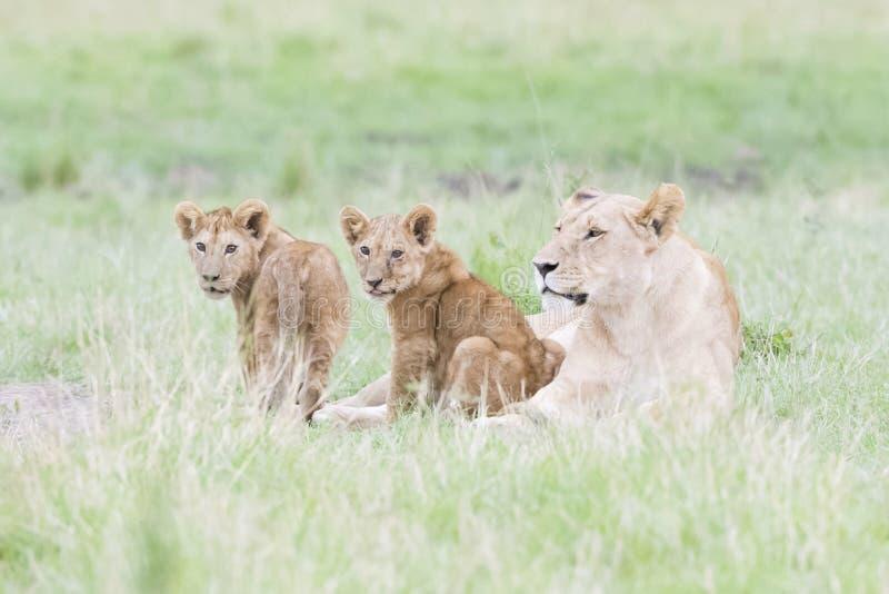 Λιονταρίνα με cubs της που βρίσκονται στη σαβάνα, Maasai Mara, Κένυα στοκ φωτογραφία