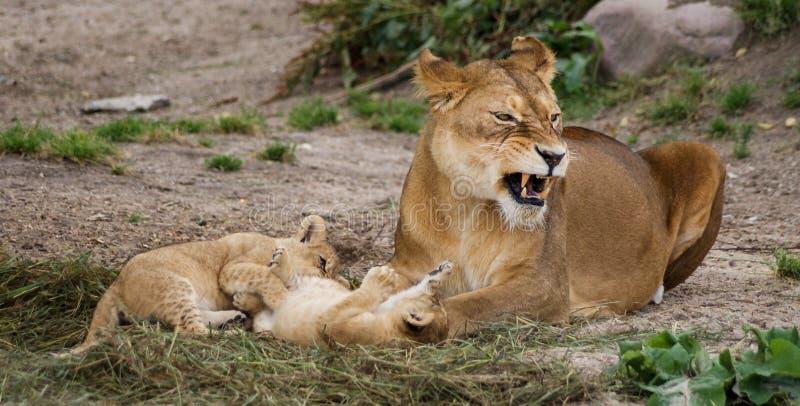 Λιονταρίνα με cubs στοκ φωτογραφία με δικαίωμα ελεύθερης χρήσης