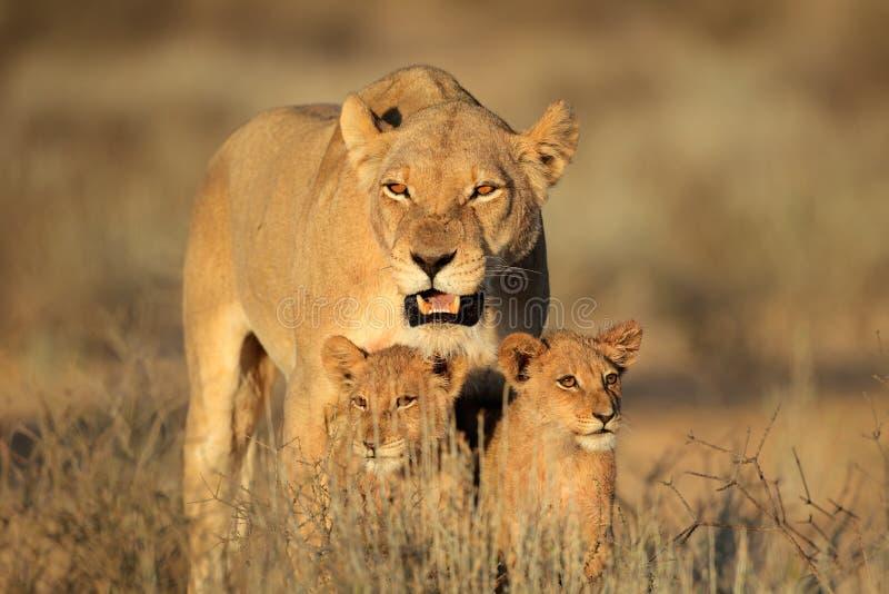 Λιονταρίνα με cubs στοκ εικόνα