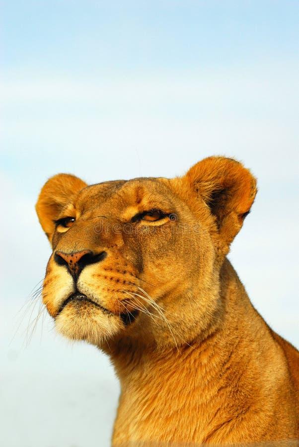 λιονταρίνα παρατηρητική στοκ φωτογραφία με δικαίωμα ελεύθερης χρήσης