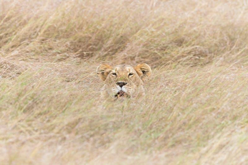 Λιονταρίνα που κρύβεται στη μακριά χλόη του Masai Mara στοκ φωτογραφίες