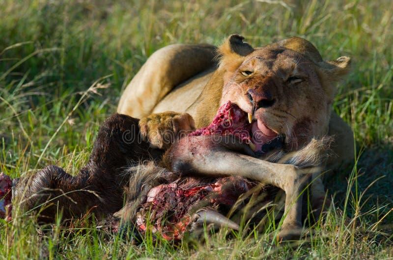 Λιονταρίνα που τρώει το σκοτωμένο πιό wildebeest εθνικό πάρκο Κένυα Τανζανία mara masai serengeti στοκ εικόνες με δικαίωμα ελεύθερης χρήσης