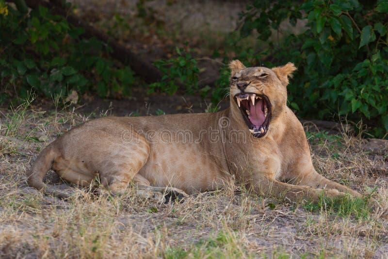 Λιονταρίνα που χαλαρώνει και που χασμουριέται στη σκιά μια καυτή ημέρα στοκ εικόνες με δικαίωμα ελεύθερης χρήσης