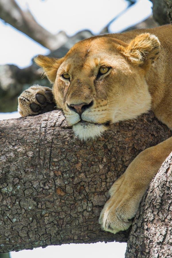 Λιονταρίνα σε ένα δέντρο σε Serengeti στοκ εικόνες