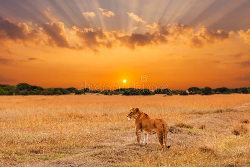 Λιονταρίνα στην αφρικανική σαβάνα στο ηλιοβασίλεμα Κένυα στοκ εικόνες