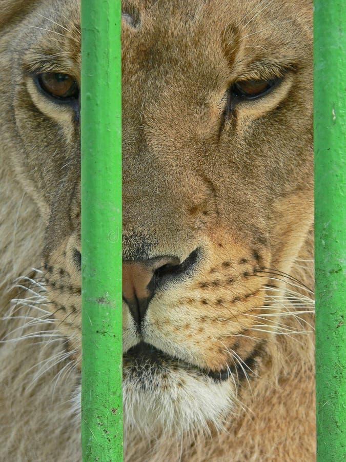 Λιονταρίνα στο μικρό κλουβί Prisonner Ζωική κατάχρηση στοκ εικόνες
