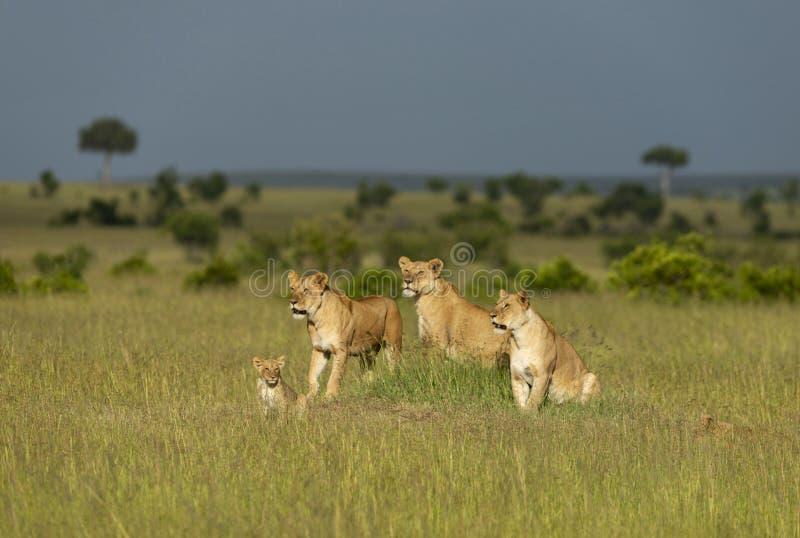 Λιονταρίνα τρία και cub, Maasai Mara, Κένυα, Αφρική στοκ φωτογραφία με δικαίωμα ελεύθερης χρήσης