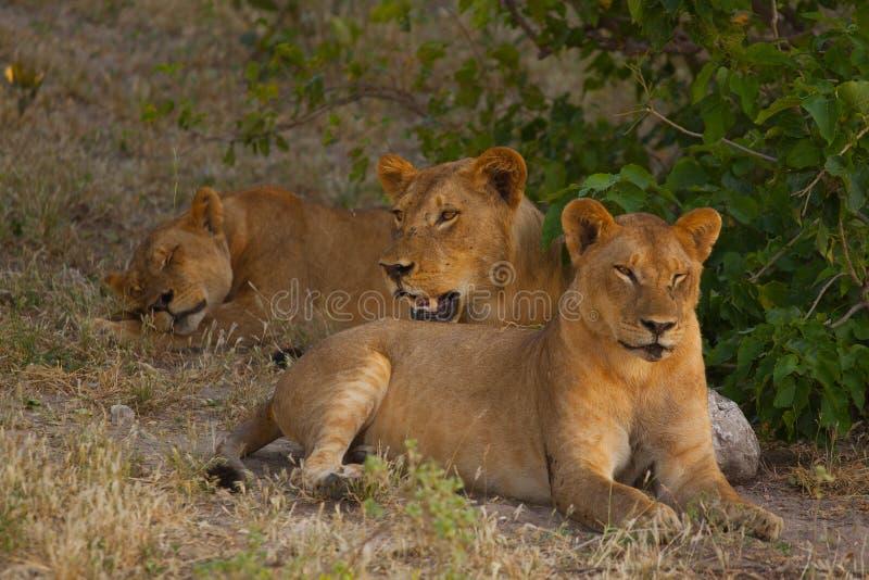 Λιονταρίνες που χαλαρώνουν στη σκιά μια καυτή ημέρα στοκ φωτογραφία
