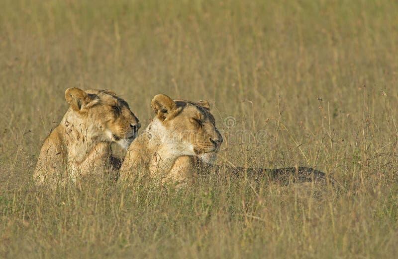 Λιονταρίνες στο ελαφρύ leo Panthera ξημερωμάτων στοκ φωτογραφία με δικαίωμα ελεύθερης χρήσης