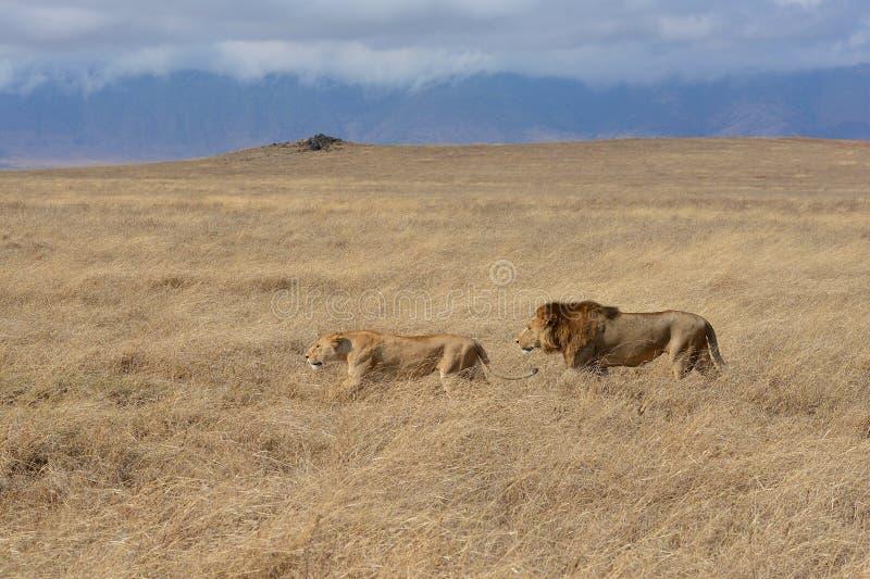 Λιονταριών στον κρατήρα Ngorongoro της Τανζανίας στοκ εικόνα