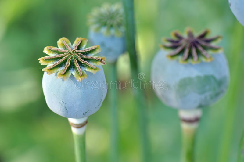 Λοβοί σπόρου λουλουδιών παπαρουνών στοκ εικόνες