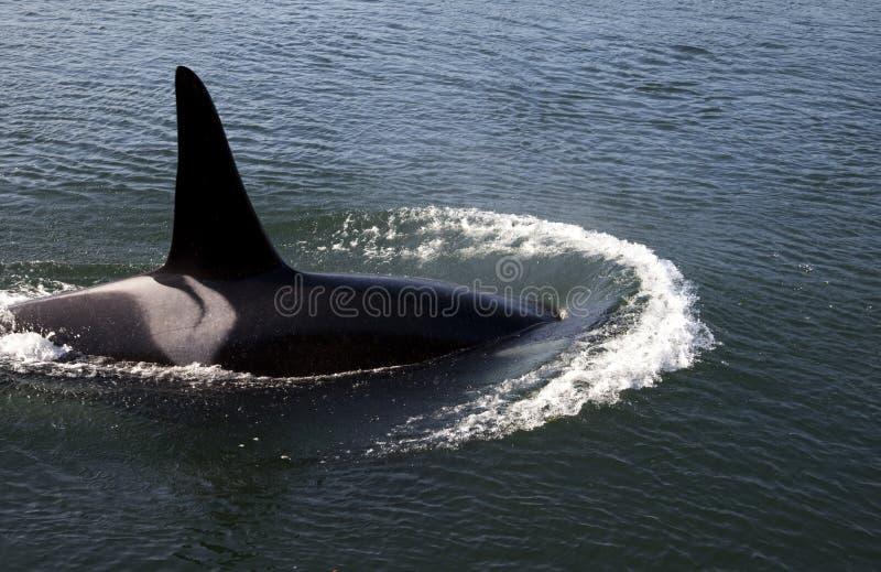 λοβός orca j στοκ φωτογραφία με δικαίωμα ελεύθερης χρήσης