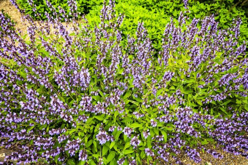 Λογικά officianalis Salvia στοκ εικόνες