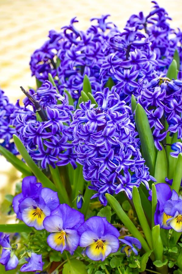 Λουλούδια άνοιξη, πορφυροί υάκινθοι και Pansies στοκ εικόνες