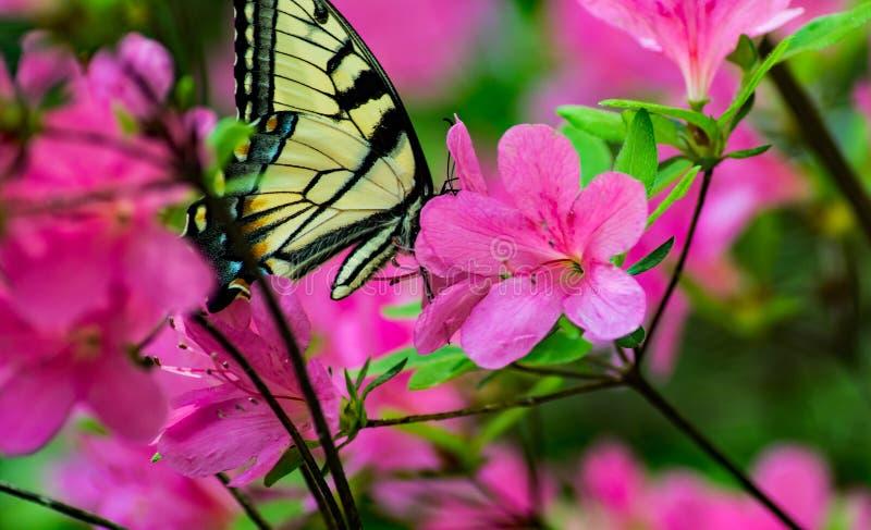 Λουλούδια αζαλεών και πεταλούδα μοναρχών στοκ εικόνα