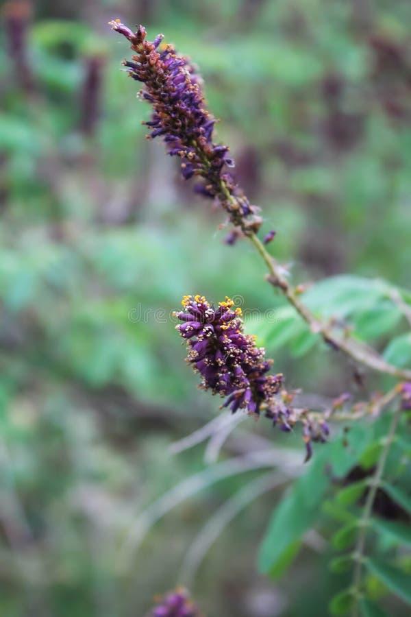 Λουλούδια ακακιών Ιώδη λουλούδια στοκ εικόνες