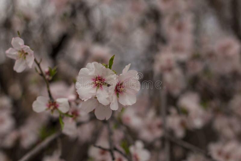 Λουλούδια αμυγδαλιών στοκ εικόνες με δικαίωμα ελεύθερης χρήσης