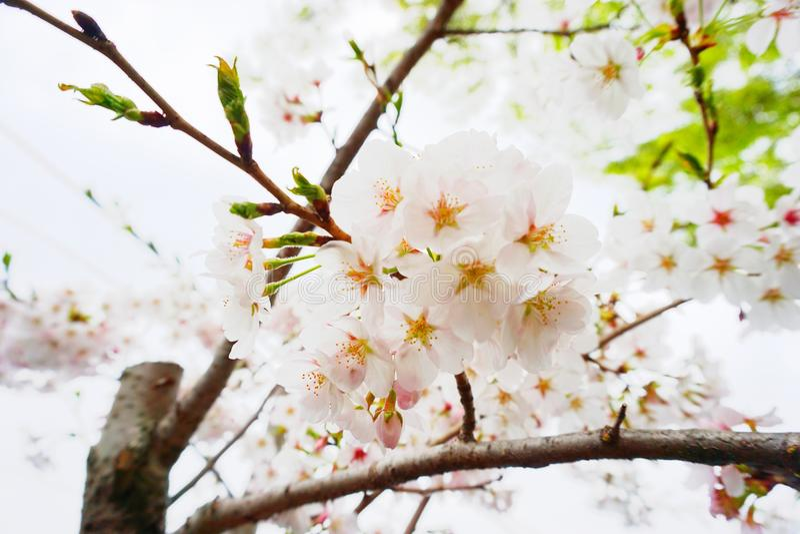 Λουλούδια ανθών κερασιών το καλοκαίρι στοκ εικόνα με δικαίωμα ελεύθερης χρήσης