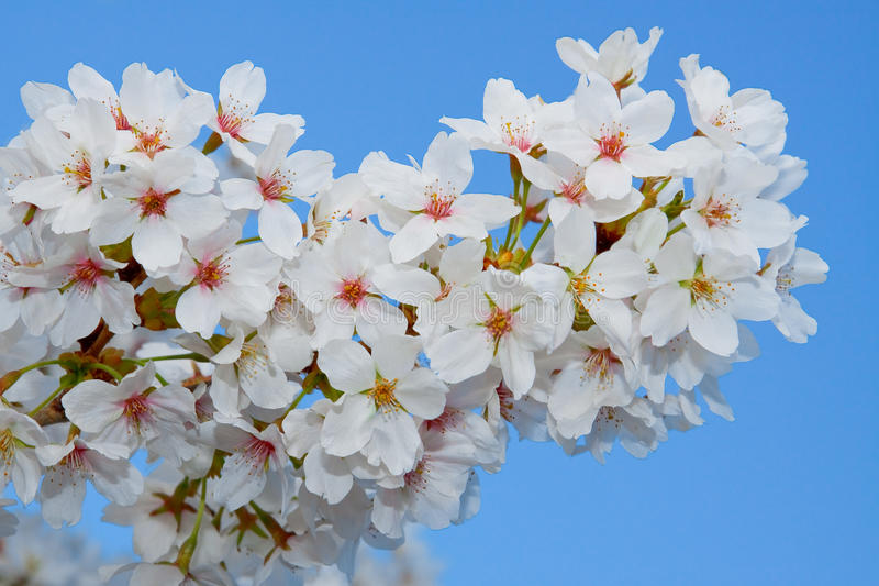 Download λουλούδια ανθών στοκ εικόνες. εικόνα από χρώμα, δέντρο - 13186750