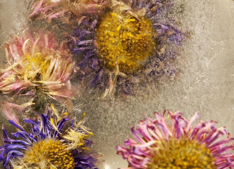 Λουλούδια από όμορφα χρώματα κολλημένα στον πάγο στοκ εικόνες
