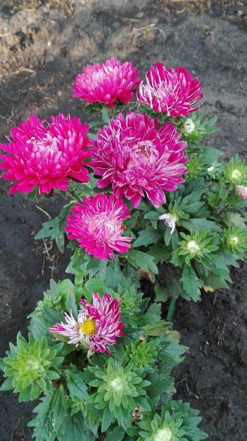 Λουλούδια αστέρων στοκ εικόνα με δικαίωμα ελεύθερης χρήσης