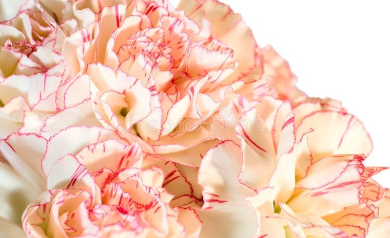 λουλούδια γαρίφαλων ανασκόπησης στοκ εικόνες