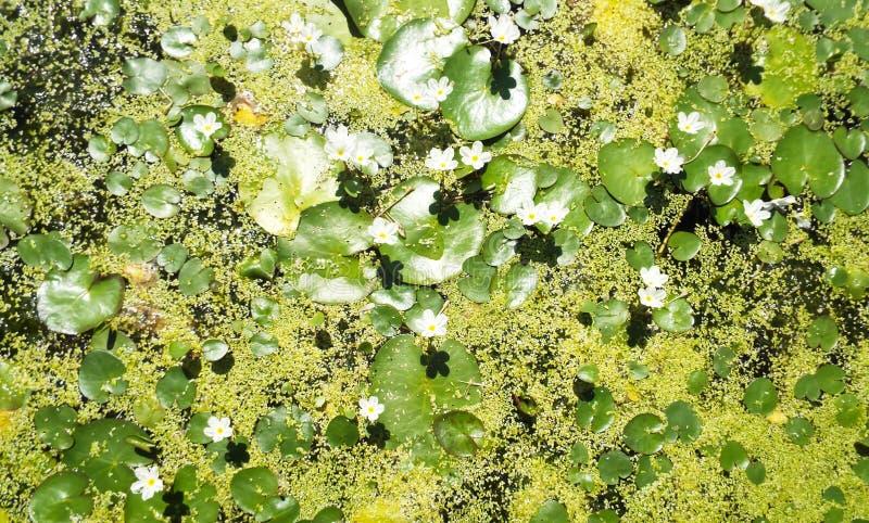 Λουλούδια γλυκού νερού από τον κήπο στοκ εικόνες