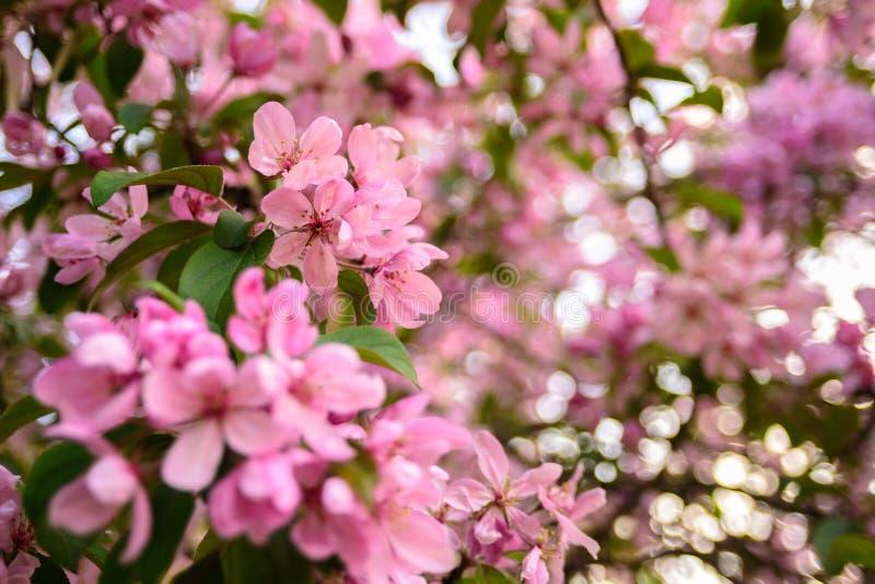 Λουλούδια δαμάσκηνων στο δέντρο στοκ φωτογραφία