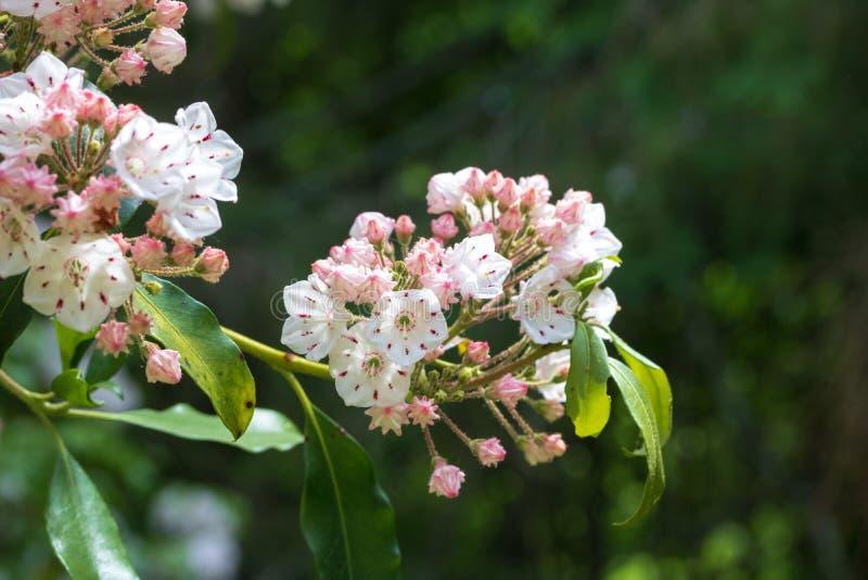 Λουλούδια δαφνών βουνών στην άνθιση στοκ φωτογραφίες με δικαίωμα ελεύθερης χρήσης