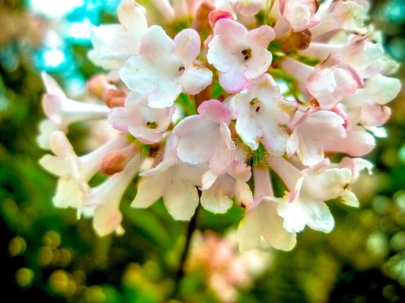 Λουλούδια και άνοιξη, φωτογραφία Λουλούδια με τον οφθαλμό λουλουδιών και το υπόβαθρο των λουλουδιών στοκ εικόνα