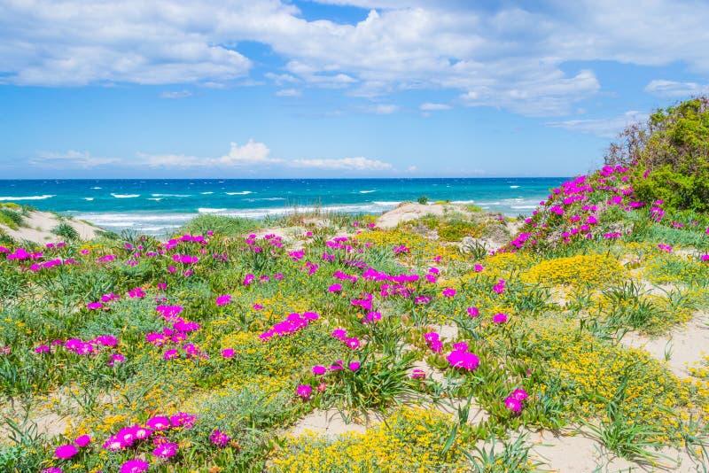 Λουλούδια και εγκαταστάσεις θαλασσίως στην παραλία Platamona στοκ φωτογραφία