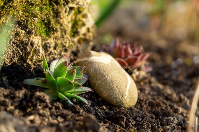 Λουλούδια και εγκαταστάσεις μεταξύ των βράχων στον κήπο Κάκτος ή succulent στοκ φωτογραφίες με δικαίωμα ελεύθερης χρήσης