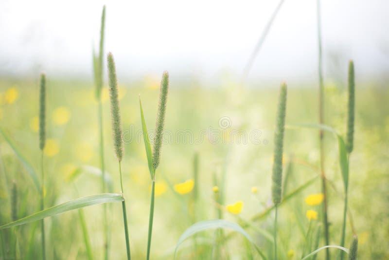 Λουλούδια και υπόβαθρο χλόης Φωτεινές κίτρινες νεραγκούλες και πρασινάδα θερινή όψη χλόης πεδίων γωνίας ευρέως στοκ εικόνα με δικαίωμα ελεύθερης χρήσης