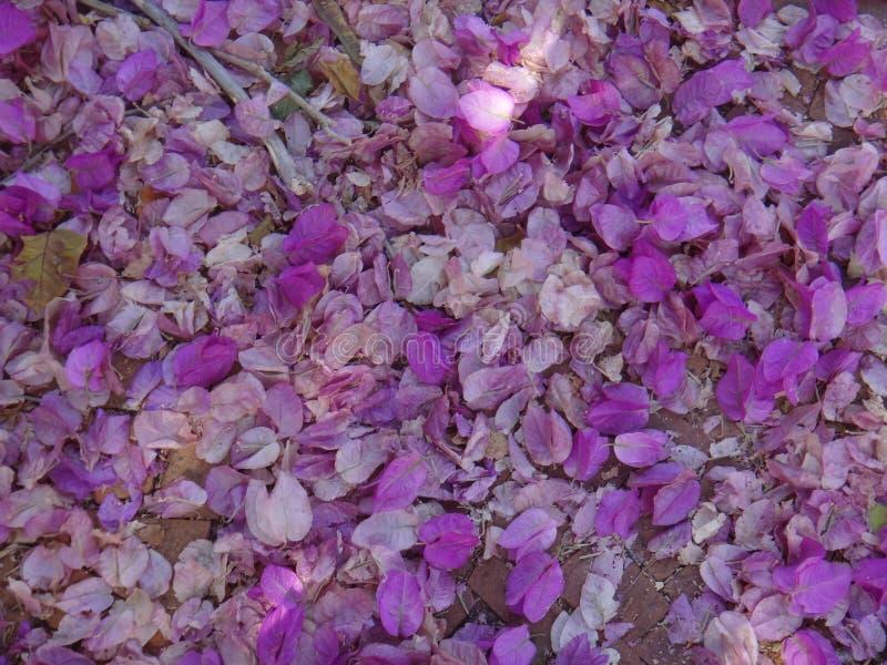 Λουλούδια και bracts Bougainvillea στο έδαφος στοκ φωτογραφίες