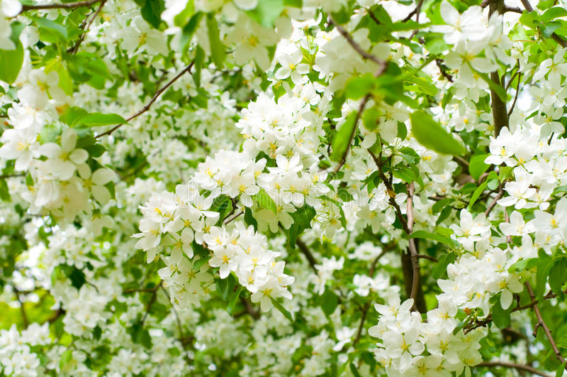 λουλούδια κερασιών κλά&d στοκ εικόνα με δικαίωμα ελεύθερης χρήσης