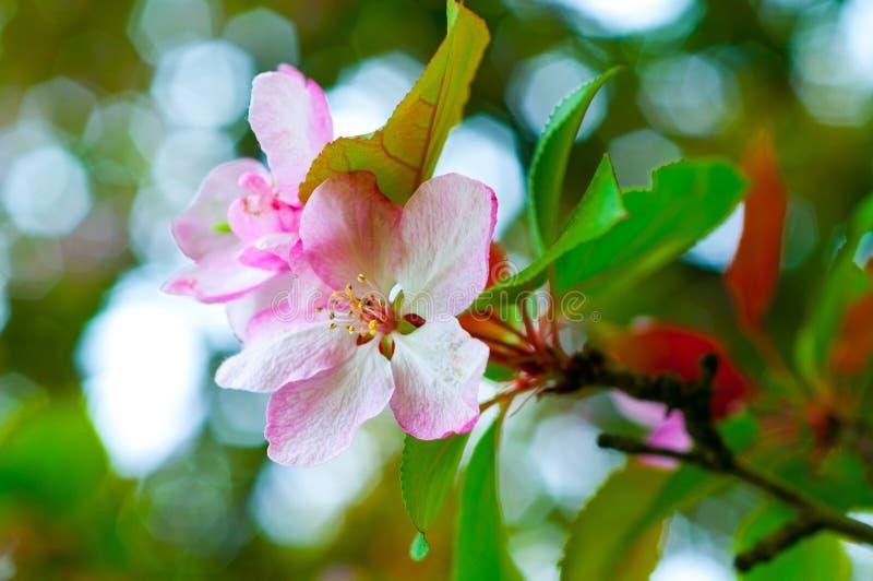 λουλούδια κερασιών κλά&d στοκ φωτογραφίες