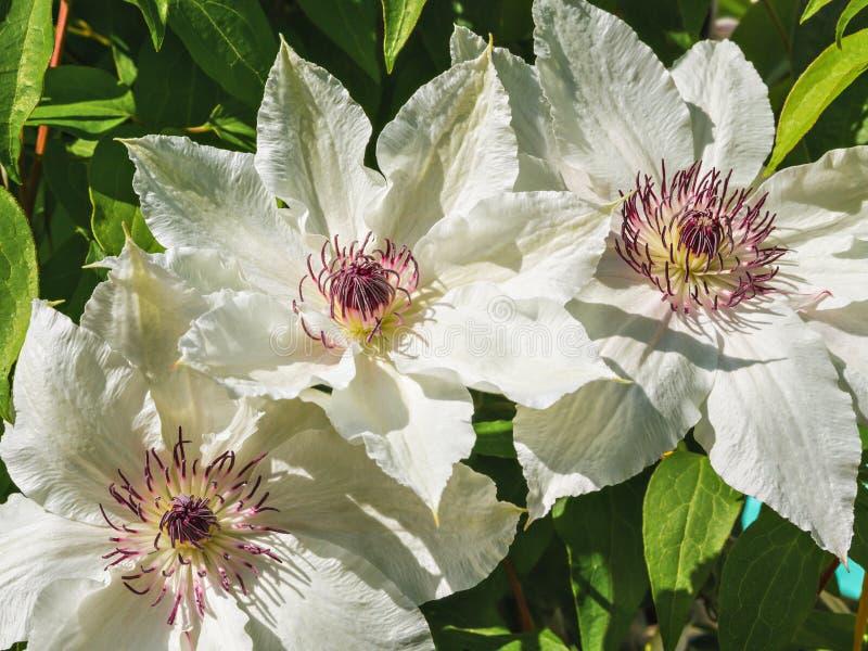 Λουλούδια κινηματογραφήσεων σε πρώτο πλάνο Μεγάλο άσπρο Clematis φως λουλουδιών ανασκόπησης playnig στοκ φωτογραφία με δικαίωμα ελεύθερης χρήσης