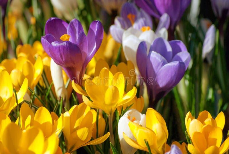 Λουλούδια κρόκων στην πορφύρα, κίτρινος και άσπρος στοκ εικόνα