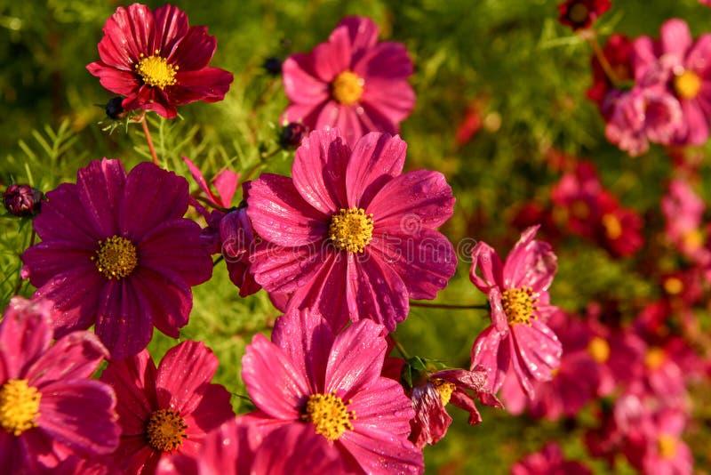 Λουλούδια κόσμου, κήπος φθινοπώρου ακόμα που ανθίζουν στοκ φωτογραφία