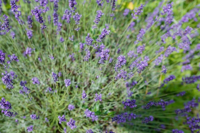 Λουλούδια λεβάντα που ανθίζουν Φόντο λουλουδιών μοβ πεδίου Τρυφερά λεβάντα στοκ εικόνα