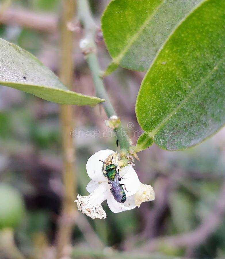 Λουλούδια λεμονιών στοκ εικόνες με δικαίωμα ελεύθερης χρήσης