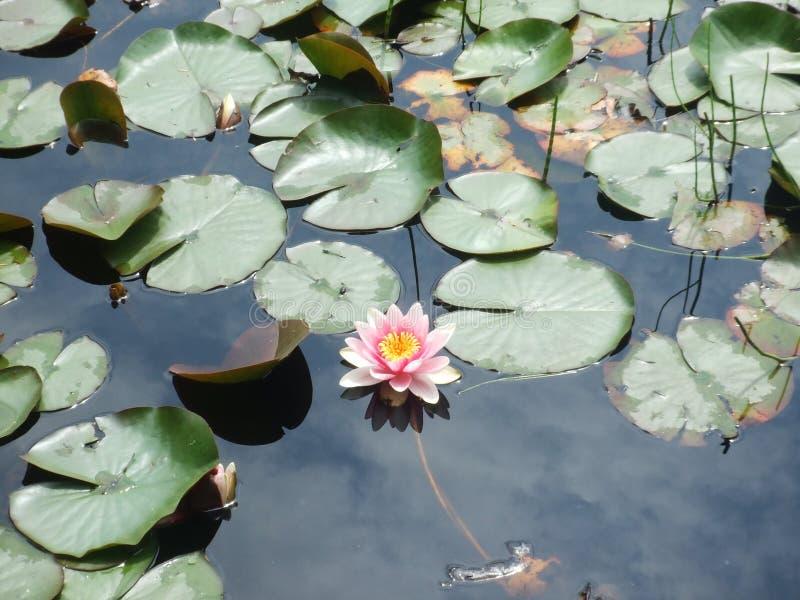 Λουλούδια λιμνών στοκ φωτογραφία με δικαίωμα ελεύθερης χρήσης