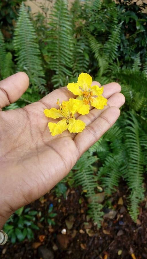 Λουλούδια λοβών χαλκού στοκ εικόνες