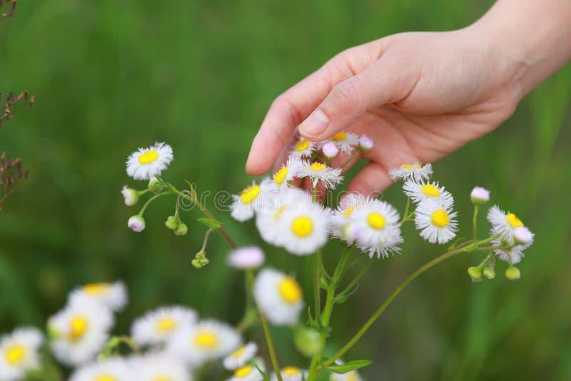 Λουλούδια μαργαριτών αφής χεριών γυναικών στοκ φωτογραφίες
