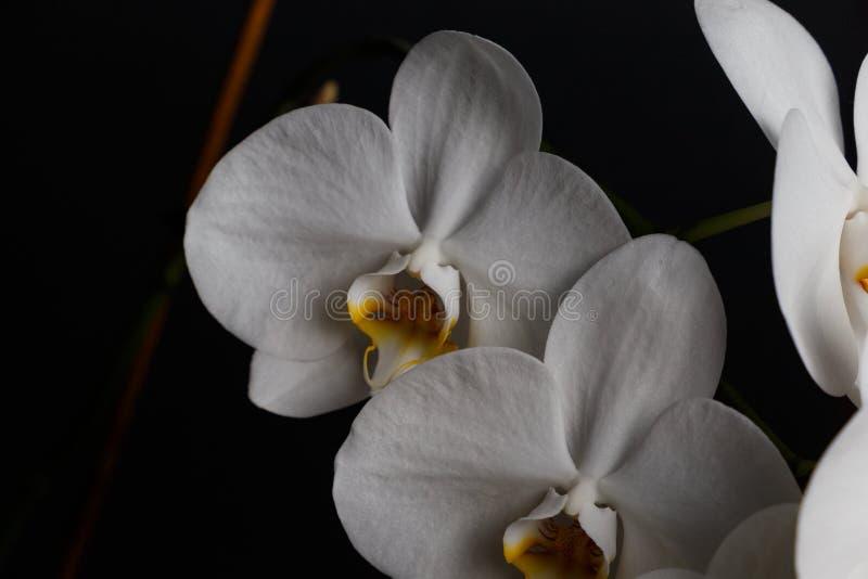 Λουλούδια μιας άσπρης ορχιδέας που απομονώνεται σε ένα μαύρο υπόβαθρο στοκ εικόνες