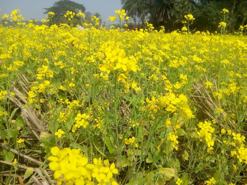 Λουλούδια μουστάρδας κάτω από το μπλε ουρανό στοκ φωτογραφία με δικαίωμα ελεύθερης χρήσης