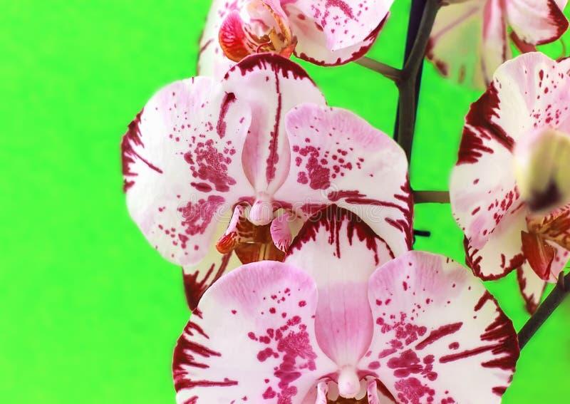 Λουλούδια ορχιδεών σε ένα κίτρινο υπόβαθρο ανθίζοντας orchid στοκ εικόνες