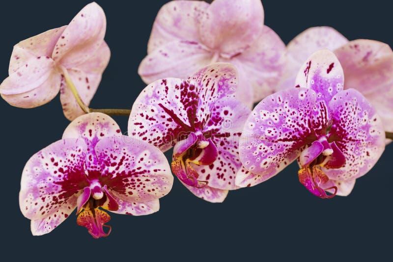 Λουλούδια ορχιδεών σε ένα μπλε υπόβαθρο στοκ εικόνες με δικαίωμα ελεύθερης χρήσης