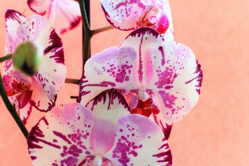 Λουλούδια ορχιδεών σε ένα ρόδινο υπόβαθρο ανθίζοντας orchid στοκ εικόνα με δικαίωμα ελεύθερης χρήσης